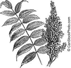 sumac, vendange, lisser, (rhus, glabra), engraving.