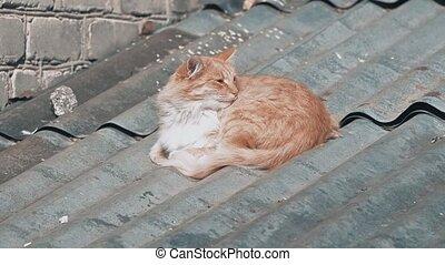 sun., maison, mensonge, roux, chauffant, beau, chat, errant, reposer, toit
