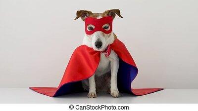 superhero, chien, rigolote, déguisement