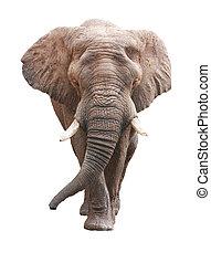 sur, africaine, grand, éléphant, blanc mâle