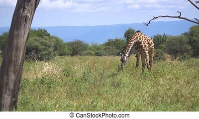 sur, herbe, girafe, slowmotion, manger, voler, oiseaux