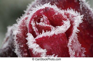 surgelé, rose