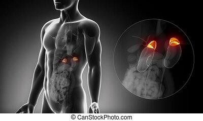 surrénal, mâle, rayon x, anatomie