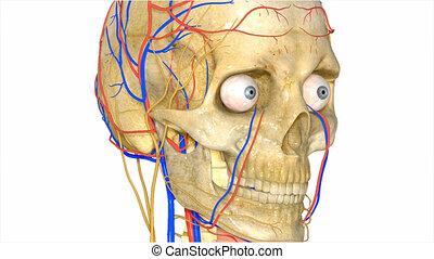 système circulatoire, crâne