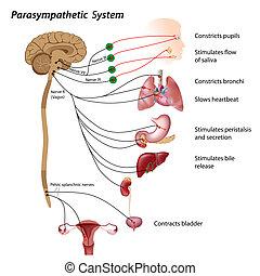 système, parasympathique