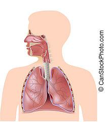 système respiratoire