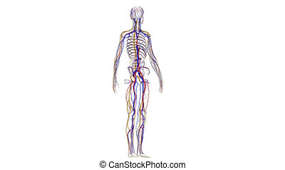 système, squelette, nerveux