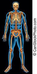 système squelettique, humain