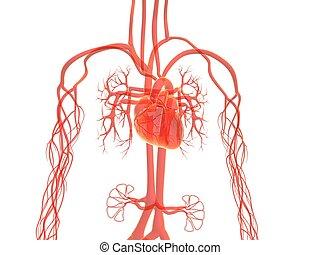 système, vasculaire