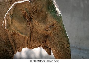tête, éléphant