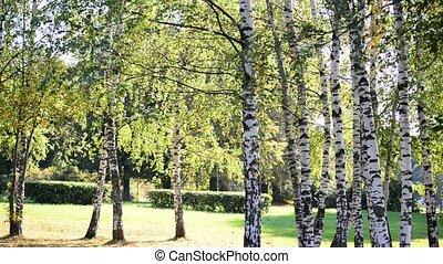 tôt, bosquet, ensoleillé, automne, bouleau, jour