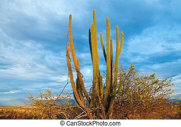 tôt, lumière, cactus, matin