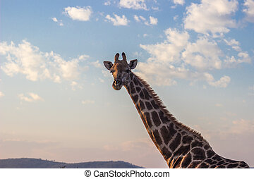 tôt, lumière, girafe, matin
