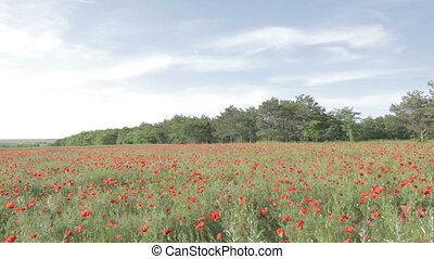 tableau, rouges, coquelicots, fleur