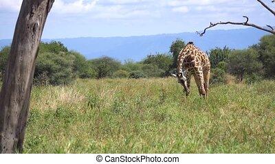 tanzanie, girafe, manger, parc, savane, slowmotion, herbe, national