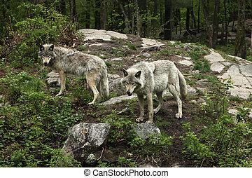 tard, loups, printemps