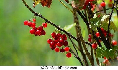tas, groseille, jardin, rouges, pendre