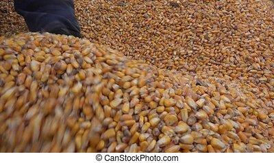 tenue, sien, mains, grains, maïs, récolte, paysan