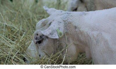 texel, -, haut, mouton, exposition, manger, animal, blanc, fin, foin