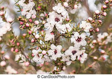 thé, arbre, arrière plan flou, fleurs blanches, fleur