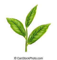 thé vert, feuille