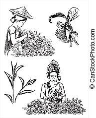 thé, vert, illustration