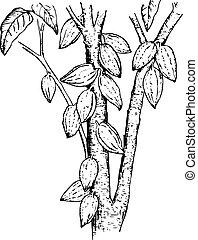 theobroma, plante, (cocoa, pods)