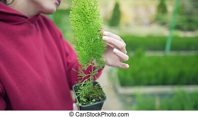 thuja, soin, plant., gros plan, arbre vert, mains, -, eco-amical, travail, entrepreneur., jeune, occupation, eco-business, conifère, cassette, beau