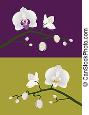 tige orchid