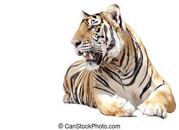 tigre, asseoir