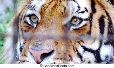 tigre, captivité
