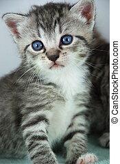 tigre, chaton gris