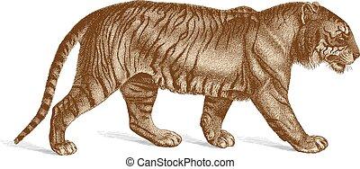 tigre, gravure, vecteur, illustration, vendange