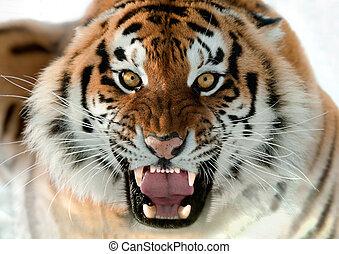 tigre, grogner, sibérien