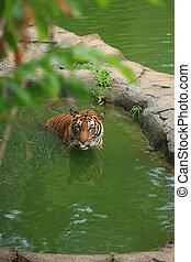 tigre, malais, bain