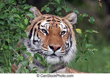 tigre, portrait, sibérien