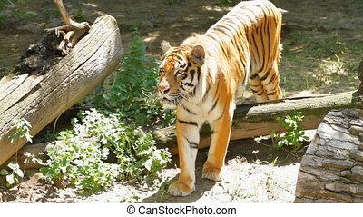 tigre, sibérien