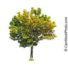 tilleul, arbre, isolé, à feuilles caduques, fond, blanc