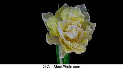 timelapse, blanc, noir, arrière-plan., fleurir, tulipe, fleur