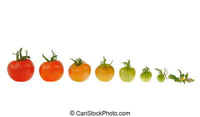 tomate, évolution, isolé, fond, blanc rouge