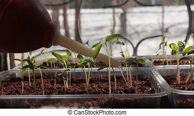tomate, eau, rebord fenêtre, seedlings