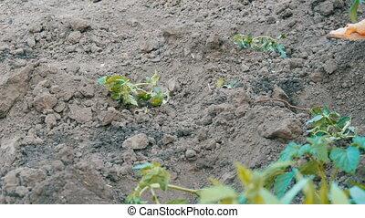 tomate, planter, jardin, jeune, main, femme, pousses, terrestre