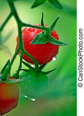 tomates fraîches, vert, cerise, rouges