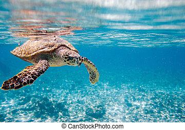 tortue hawksbill, mer