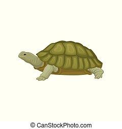 tortue, reptile, animal, illustration, vecteur, fond, blanc