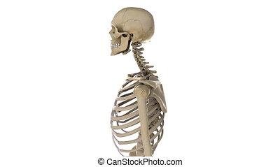 tourner, mâle, closeup, squelette