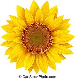 tournesol, fleur, isolé, été, jaune