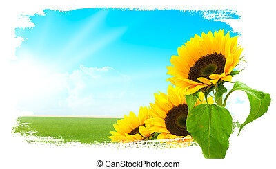 tournesols, ciel bleu, -, paysage, terre, vert