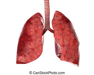 trachée, humain, poumons