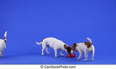 traction, ils., promenade, arrière-plan., manger, chaque, plaque, russell, bol, animaux familiers, lent, studio, cric, vers, motion., rouges, chouchou, bleu, haut, chiens, nourriture, trois